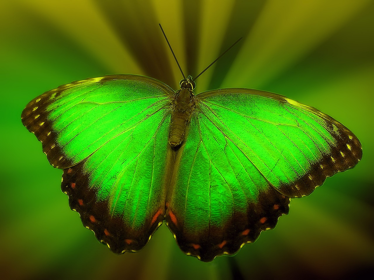 Transformation-Schmetterling